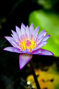 Close Focus Floral Prints - Purple lotus  Print by Raimond Klavins
