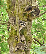 Cubs Posters - Raccoon Family Poster by Jennie Marie Schell