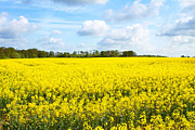 Cornfield Photos - rapeseed oil field in the English countryside by Fizzy Image