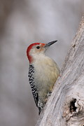 Jim Nelson Posters - Red-Bellied Woodpecker Poster by Jim Nelson