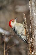 Woodpeckers Framed Prints - Red Bellied Woodpecker Framed Print by Todd Bielby