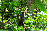 Mangrove Forest Photo Prints - Red Colobus Monkey Print by Aidan Moran