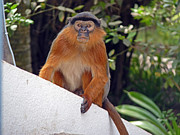 Tony Murtagh - Red Colobus Monkey