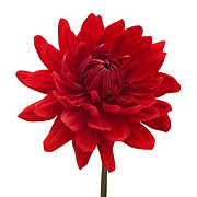Photographs Digital Art - Red Dahlia Flower against White Background by Natalie Kinnear