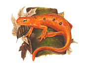 Illustration Painting Originals - Red Eft by Cindy Hitchcock