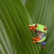 Hiding Metal Prints - Red Eyed Tree Frog  Metal Print by Dirk Ercken