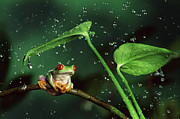 Rain Drop Posters - Red-eyed Tree Frog in the Rain Poster by Michael Durham