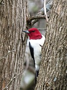 Rebecca Overton - Red Headed Woodpecker
