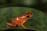 Costa Rica Posters - Red Poison Frog Poster by Dirk Ercken