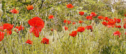 Aging Painting Posters - Red poppy flowers in the field Poster by Odon Czintos