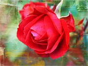 Roses - Red Rose by Cathie Tyler