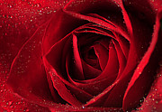Darren Fisher - Red Rose