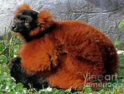 Red-ruffed Lemur Posters - Red-ruffed Lemur Poster by Millard H. Sharp