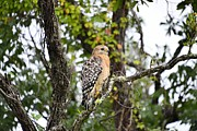 Bill Hosford - Red Shouldered Hawk
