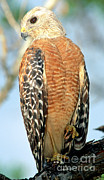Red Shouldered Posters - Red Shouldered Hawk Poster by Millard H. Sharp