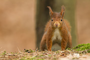 Kirk Norbury - Red Squirrel