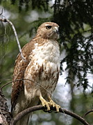 Red Tail Hawk 2 Print by Peter Gray