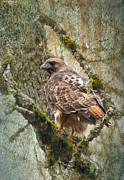 Red-tail Hawk Print by Angie Vogel
