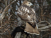 Dennis Pintoski - Red Tail Hawk