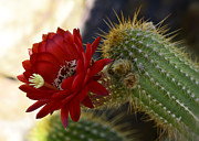Torch Photos - Red Torch Cactus  by Saija  Lehtonen