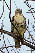 Redtail Hawk Art - Redtail Hawk. by Michel Soucy