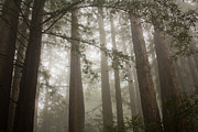 All Prints - Redwood Fog Print by Shayne Skower