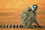 Two Tailed Photo Metal Prints - Ring-tailed Lemur Mother and Baby Metal Print by Cyril Ruoso