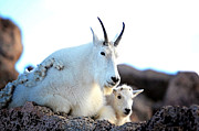 Rocky Mountain Goats 2 Print by OLena Art