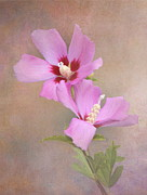 Rose Of Sharon Framed Prints - Rose of Sharon Framed Print by Angie Vogel