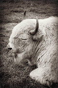 Sacred White Buffalo Posters - Sacred Buffalo Poster by Chris Scroggins