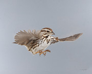 Gerry Sibell - Sammy the Song Sparrow