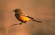 Flycatcher Prints - Says Phoebe Print by Robert Bales