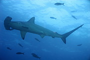 Scalloped Prints - Scalloped Hammerhead sharks Print by Sami Sarkis