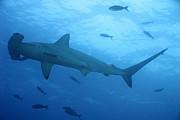Scalloped Hammerhead Sharks Print by Sami Sarkis