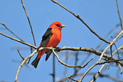 Tanager Originals - Scarlet Tanager by Alan Lenk
