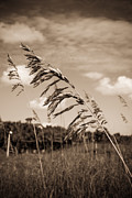 Sea Oats Photo Framed Prints - Sea Oats Framed Print by Matthew Trudeau