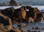 Seagull Landing Print by Maureen Dowd