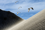 Flying Seagulls Framed Prints - Seagulls Framed Print by Michael Mogensen