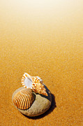 Border Metal Prints - Seashell and Conch Metal Print by Carlos Caetano