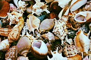Seashell Art Prints - Seashells Print by Carol Groenen