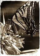 Blooms  Butterflies Framed Prints - Sepia Butterfly Framed Print by James Lindstrom