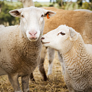 Tim Hester - Sheep