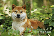 Shiba Inu Dog Print by Jean-Michel Labat