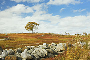 Blueberry Barrens Posters - Single Tree And Rock Wall In Maine Blueberry Field Poster by Keith Webber Jr