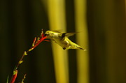 Birds In Flight Photos - Sipping Nectar by Jeff  Swan