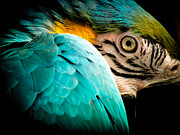 Parrots Photos - Sleeping Beauty by Karen Wiles