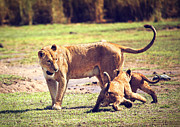 Small Lion Cubs With Mother. Tanzania Print by Michal Bednarek