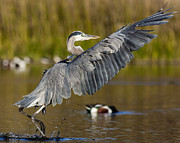 Great Heron Photos - Smooth Landing by Carl Jackson