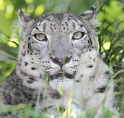 John Telfer Photography Framed Prints - Snow Leopard Framed Print by John Telfer