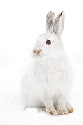 Snowshoe Hare Print by Jim Cumming